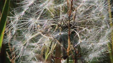 Spring dandelion on natural background Footage