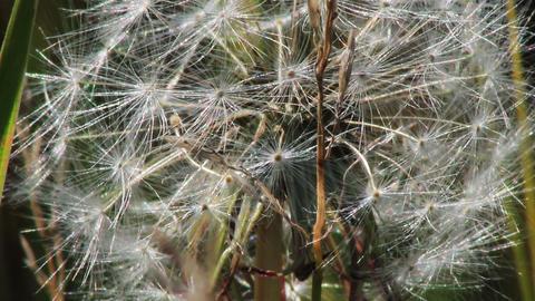 Spring dandelion on natural background Stock Video Footage