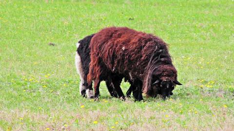 Shetland Sheeps grazing in the meadow Stock Video Footage