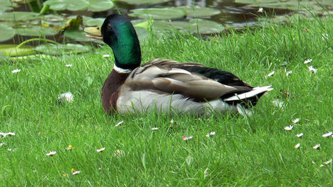 Beautiful duck lying in grass closeup Footage