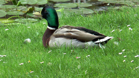 Beautiful duck lying in grass closeup Stock Video Footage