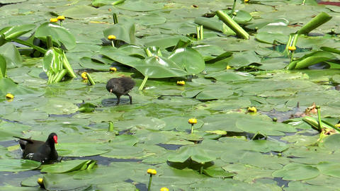 moorhen with baby Stock Video Footage
