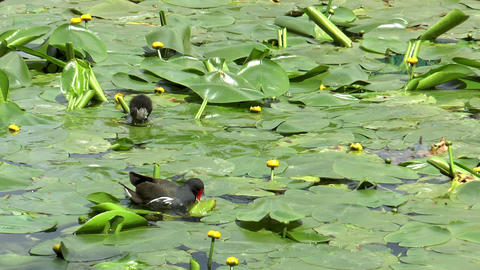 moorhen with baby Footage