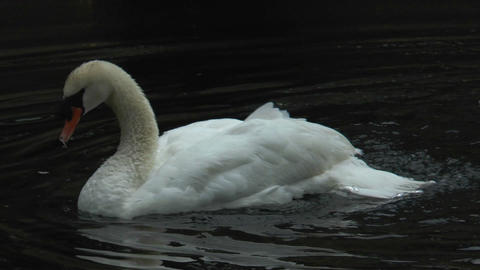white swan cleaning his plumage in water slow moti Stock Video Footage