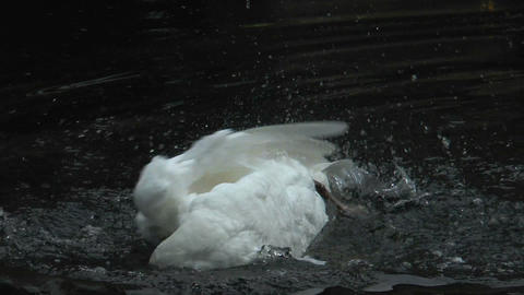 white swan cleaning his plumage in water slow moti Footage