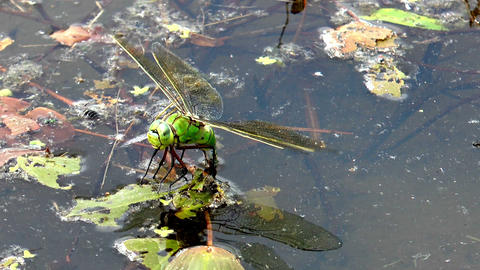 big dragonfly laying eggs front view closeup Footage