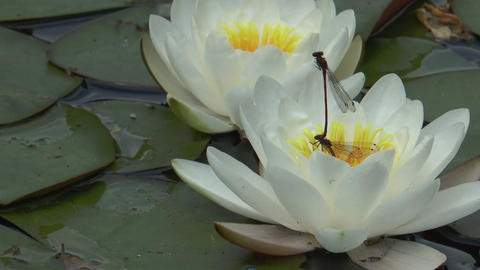 black dragonflys mating on blossom of a white nymp Stock Video Footage