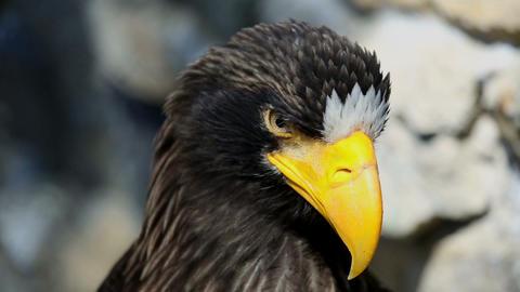 Sea eagle Stock Video Footage