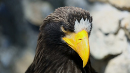 Sea eagle Stock Video Footage