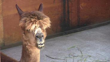 Adolescent Alpaca Chewing Stock Video Footage
