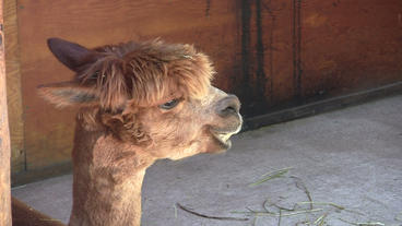 Adolescent Alpaca Chewing Stock Video Footage