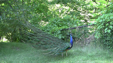 Blue Peacock Retracts Feathers Footage
