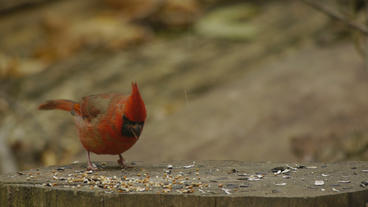 Red Cardinal Eating on Stump 24P Stock Video Footage