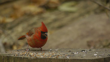 Red Cardinal Eating on Stump 24P Footage