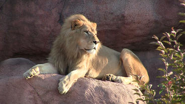Toronto Zoo Lion Lindy Sitting on Rock Stock Video Footage