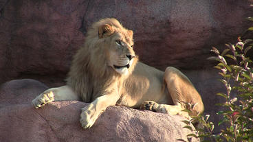 Toronto Zoo Lion Lindy Sitting on Rock Footage