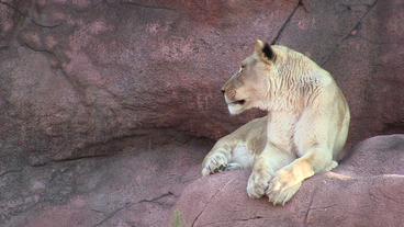 Toronto Zoo Lion Jerroh Turns to Look Stock Video Footage