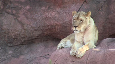 Toronto Zoo Lion Jerroh Turns to Look Stock Video Footage