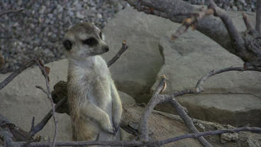 Meerkat Sentry Looking Around Stock Video Footage