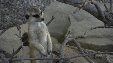 Meerkat Sentry Looking Around Footage