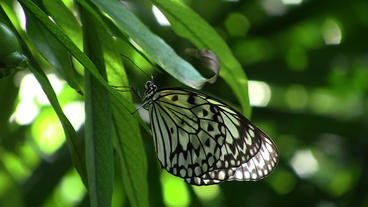 Tree Nymph Butterfly on Green Leaf Stock Video Footage