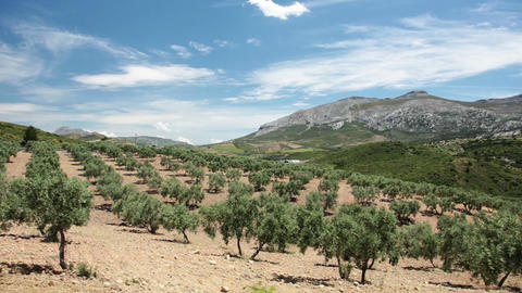 Olive Trees stock footage