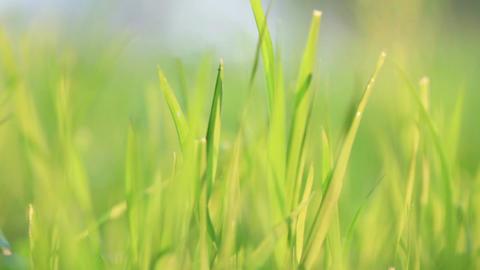 Green grass. Wind Footage