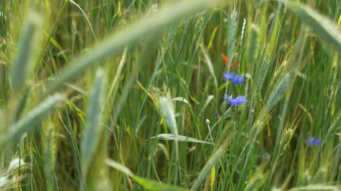 Purple flowers in the field Footage