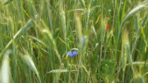 Purple flowers in the field Stock Video Footage