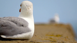 Gull 1 Stock Video Footage