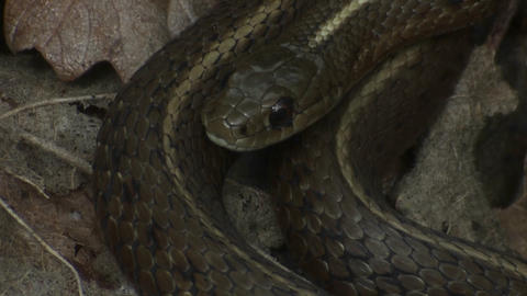 A black snake is coiled and ready to strike Stock Video Footage