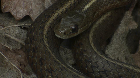 A black snake is coiled and ready to strike Footage