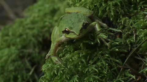A green frog looks around Stock Video Footage