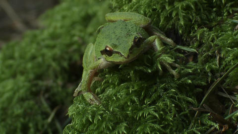 A green frog looks around Footage