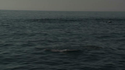 A pod of dolphins play in the water alongside a bo Stock Video Footage