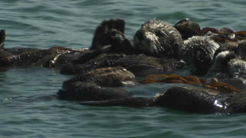 A sea otter floats on his back with friends Stock Video Footage