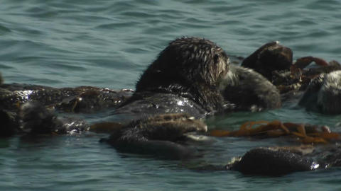 A sea otter floats on his back with friends Footage