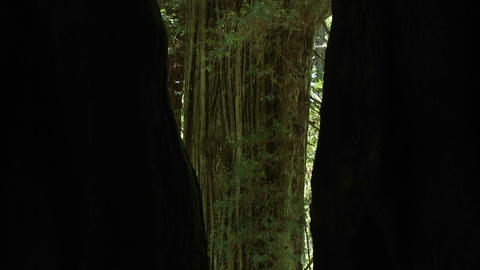 Tilt up trees in the redwood forest of California Footage