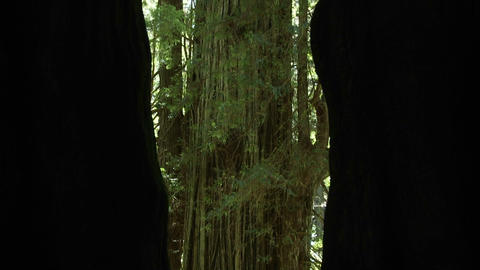 Tilt up trees in the redwood forest of California Stock Video Footage
