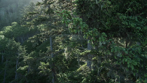 Light filters through the trees in the Redwood for Stock Video Footage