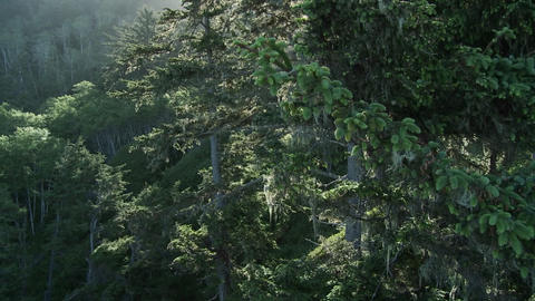 Light filters through the trees in the Redwood for Footage