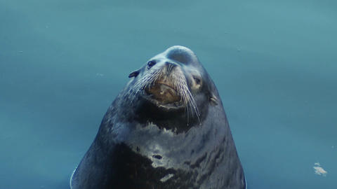 A seal peers cutely into the camera Stock Video Footage