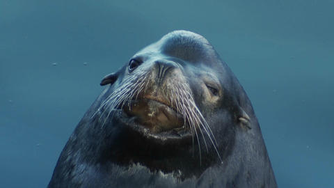 A seal peers cutely into the camera Footage
