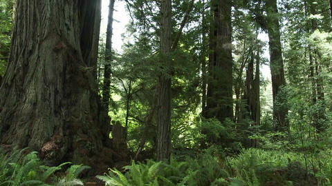 Light filters into the forest floor in the Redwood Stock Video Footage