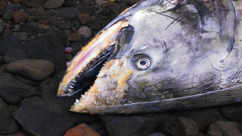 A dead salmon lies in a stream Stock Video Footage