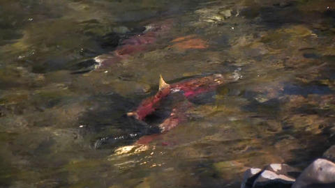 Salmon swim upstream in a river Footage