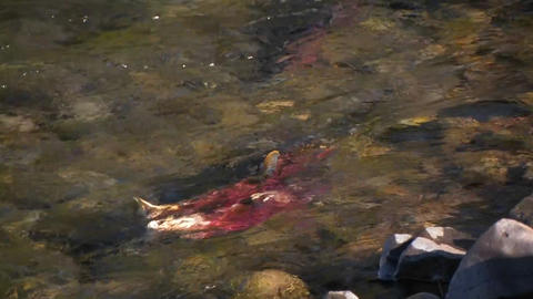 Salmon swim upstream in a river Stock Video Footage