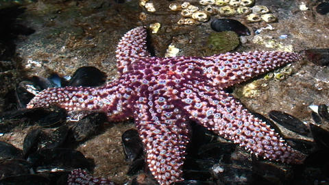 Beautiful purple starfish in a tide pool Stock Video Footage