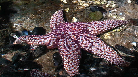 Beautiful purple starfish in a tide pool Stock Video Footage