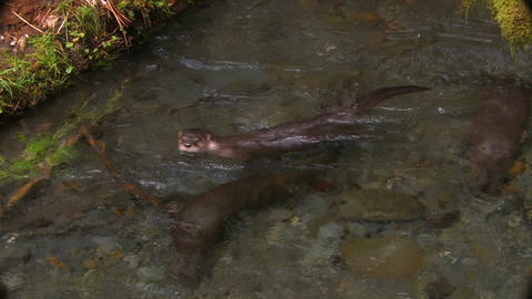 Otters frolic in a freshwater stream Stock Video Footage